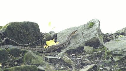 危険なヘビ。毒をもつマムシ_2