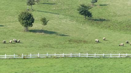 羊の放牧_7