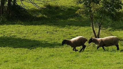 羊の放牧_1