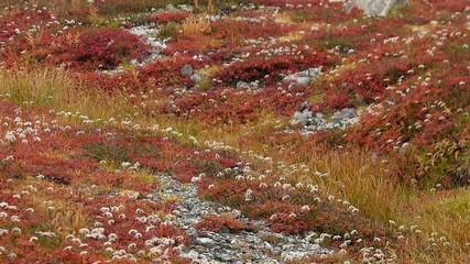 火山の麓の紅葉した高山植物_2
