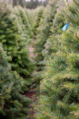looking between rows of Christmas trees at a tree farm