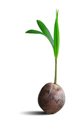 Sprout of coconut tree isolated on white with clipping path.