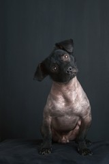 Portrait of mixed peruvian dog on black background