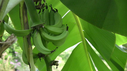 A bunch of green bananas on a tree