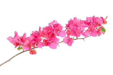 Pink blooming bougainvilleas isolate on white background