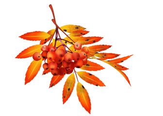 осенняя ветка рябины с ягодами