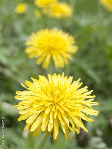 Deurstickers Paardebloem タンポポの花