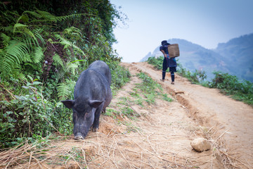 Pig on the trail in the village of Sapa in Vietnam
