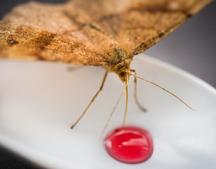 Moth feeding syrup from plastic spoon. Selective focus.