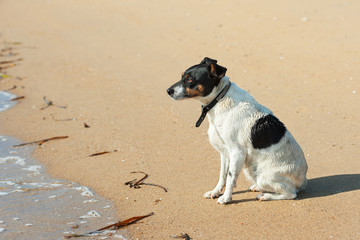 Jack Russell Terrier dog on nature background.