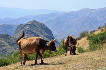 Коровы на высокогорном пастбище