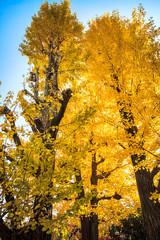 ginkgo at fall season