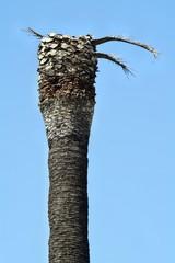 Palma danneggiata dal punteruolo rosso