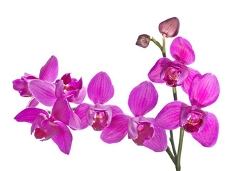 three petals isolated dark pink orchids