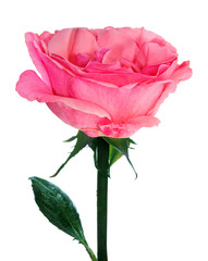 pink beautiful isolated single rose