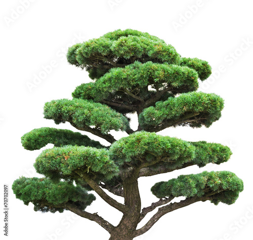 Foto op Plexiglas Bonsai bonsai green pine isolated on white tree