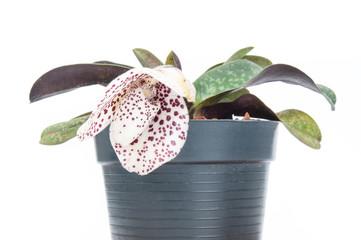 Lady's Slipper (Paphiopedilum bellatulum)