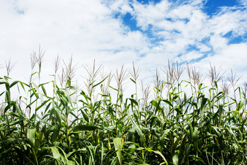 Corn field under cloudy sky