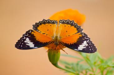 Butterfly in yellow flower