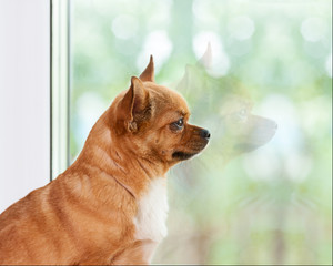 Red chihuahua dog near window.