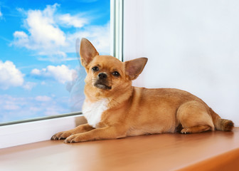 Red chihuahua dog lies on windowsill at window.