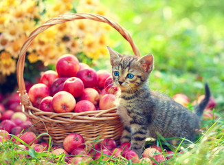 Cute little kitten near a basket with paradise apples