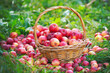 Organic apples in the basket on green grass