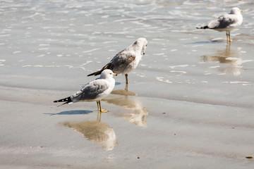 Three Seagulls in Surf