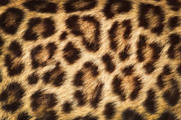 detail  skin  of  leopard
