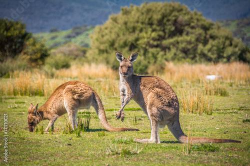Poster Kangoeroe Grazing Kangaroos