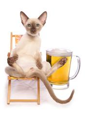 Sun god tonkinese kitten having a beer