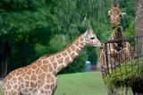 Giraffes eating grass