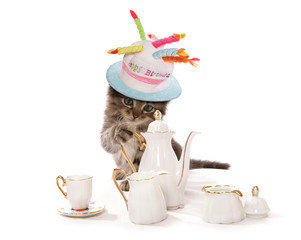 High tea asian kitten cat