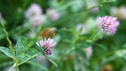 Flower of clover.