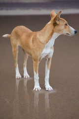 Portrait of wild dog standing on the beach
