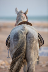Harnessed horse standing at the beach of Sidi Kaouki