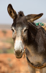 Portrait of Donkey in Morocco