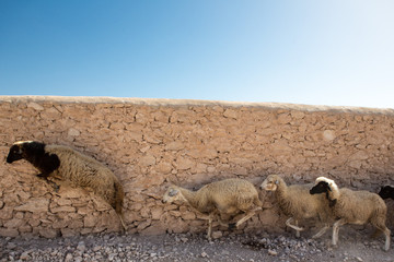 Group of sheeps running in Morocco