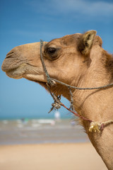 Portrait of camel on the beach in Morocco