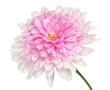 Obrazy na płótnie, fototapety, zdjęcia, fotoobrazy drukowane : Pink Dahlia Flower large center Isolated on white
