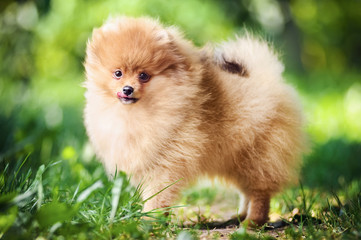 Cute puppy of pomeranian spitz