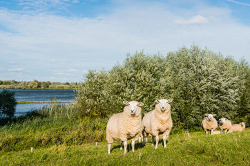 Eparmarked sheep on a sunny day at the end of the summer season