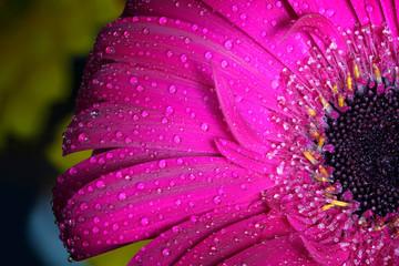 Fresh wet gerbera flower close-up at spring.