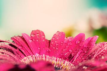 Fresh wet gerbera flower close-up at spring. Vintage background