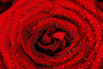 Red wet rose flower close-up. Greeting card or background