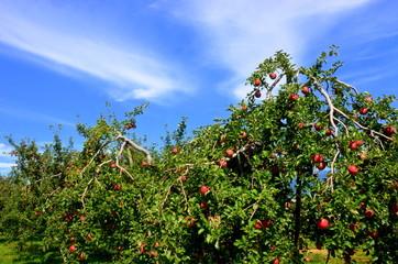 Azumino apple