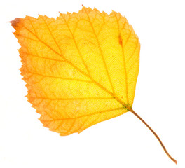 Yellow birch leaf isolated