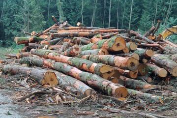 Pile of cut Alder logs in a Pacific Northwest forest clearing