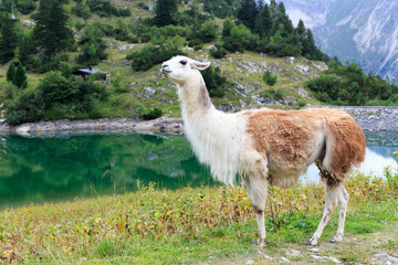 Lama am Traualpsee