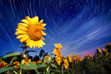 Sunflowers on night - with stars sky and startrails background